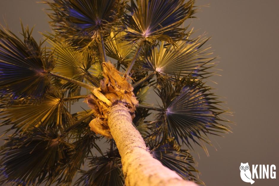 mcallen_palm